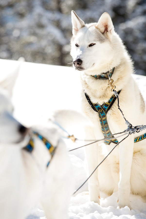 Canmore winter dogsledding wedding from Naturally Chic | www.naturallychic.ca| Photo by Kim Payant Photography